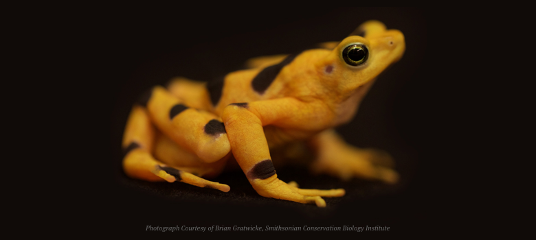 Golden Frog and Smithsonian's Panama Amphibian Rescue and Conservation Project Raise $50,000 for Panamanian Golden Frogs!